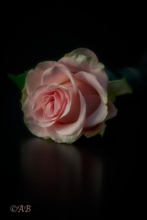 beutiful-rose